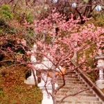 Japan - Cherry blossoms in Nago, Okinawa