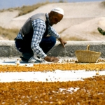 Turkey - Göreme - Rooftop apricot sorting
