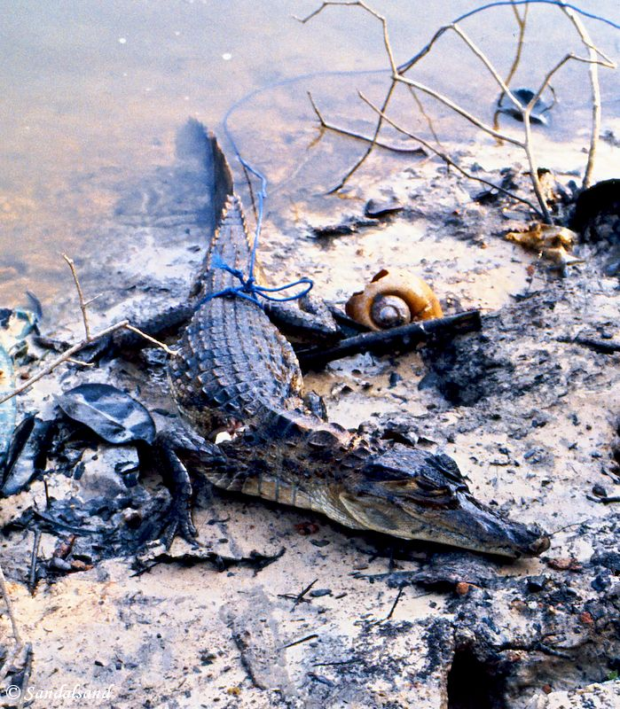 Brazil - Amazonas safari - Alligator