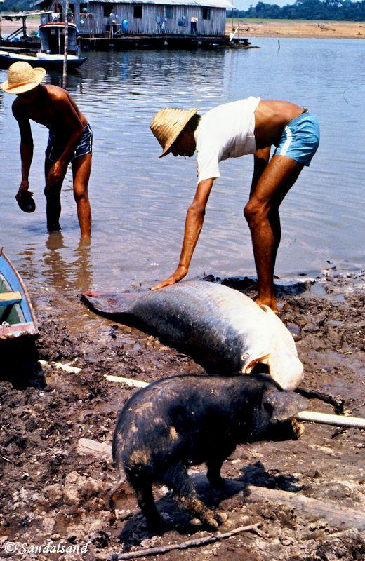 Brazil - Amazonas safari - Pirarucu fish