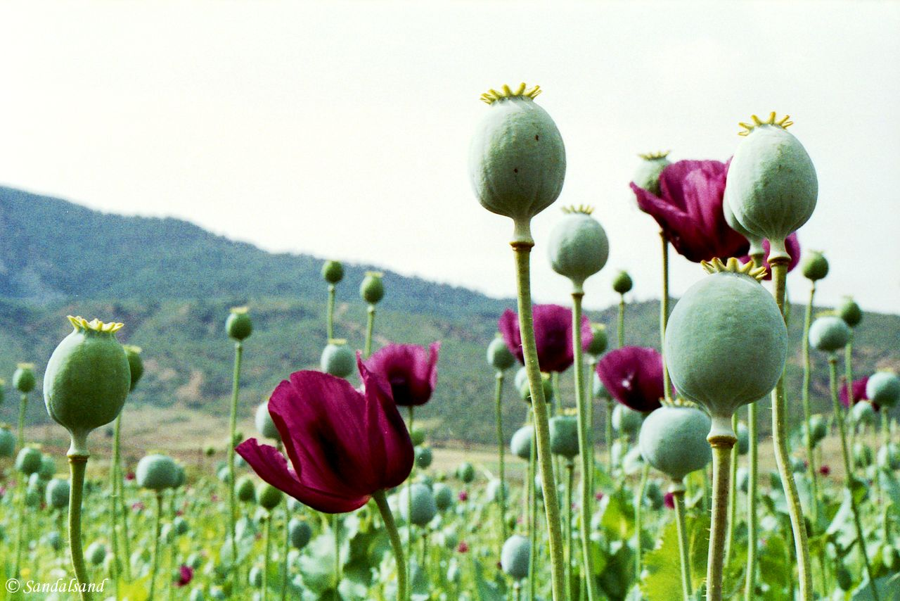 Turkey - Poppies